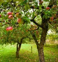 Как и когда правильно сажать плодовые деревья