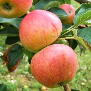 Саженцы яблони из питомника